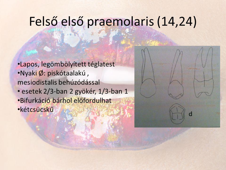 Felső első praemolaris (14,24) • Lapos, legömbölyített téglatest • Nyaki Ø: piskótaalakú, mesiodistalis behúzódással • esetek 2/3-ban 2 gyökér, 1/3-ba