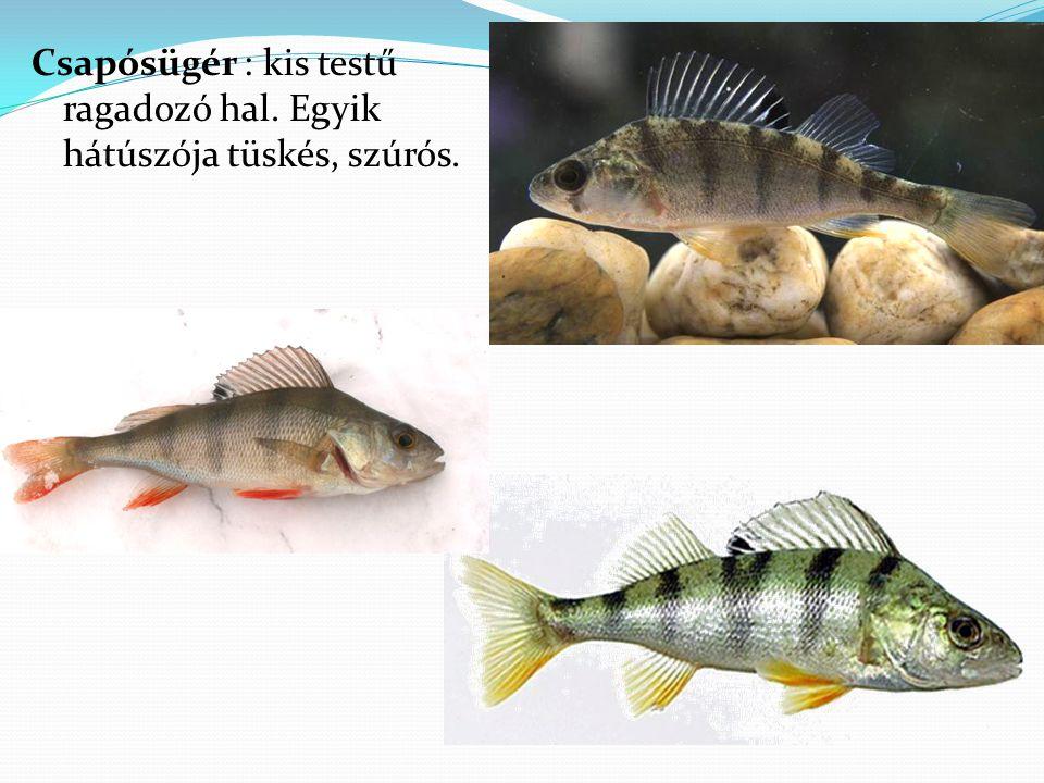 Csapósügér : kis testű ragadozó hal. Egyik hátúszója tüskés, szúrós.