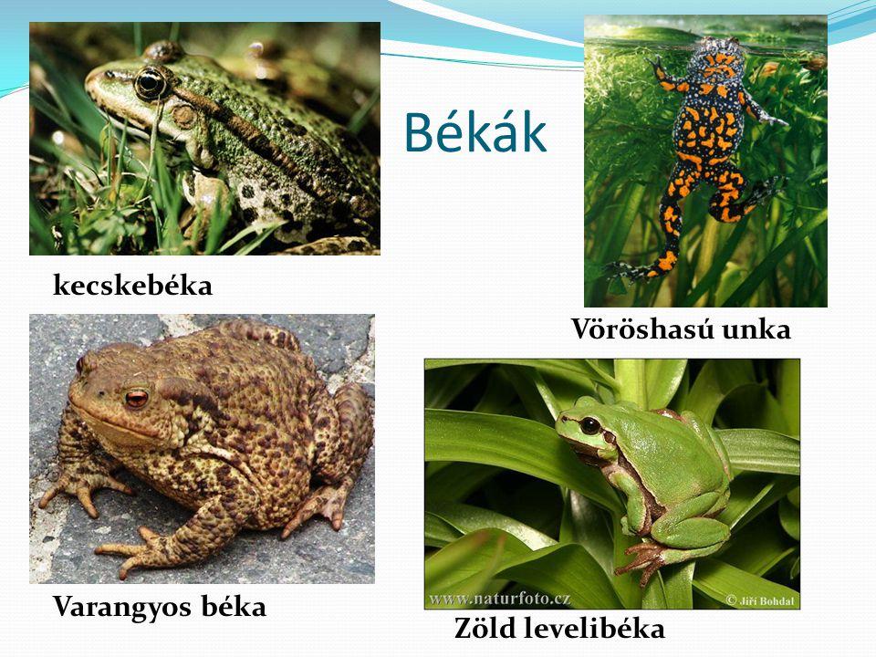 Békák Varangyos béka Zöld levelibéka kecskebéka Vöröshasú unka