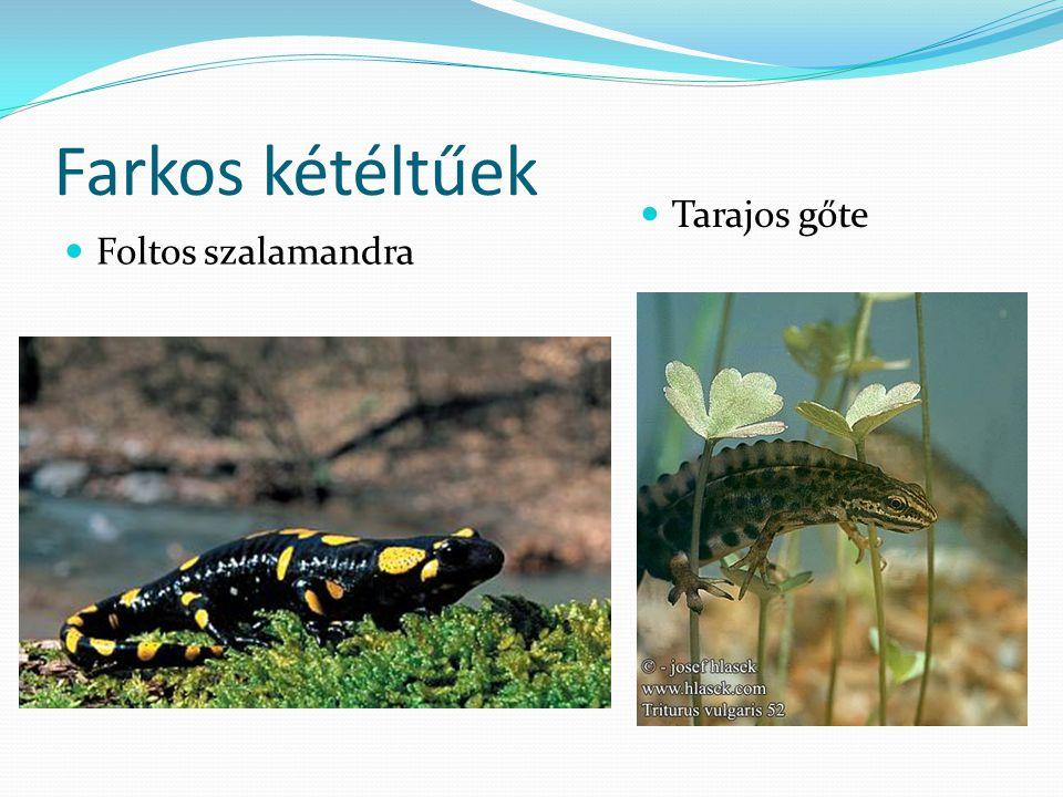 Farkos kétéltűek  Foltos szalamandra  Tarajos gőte