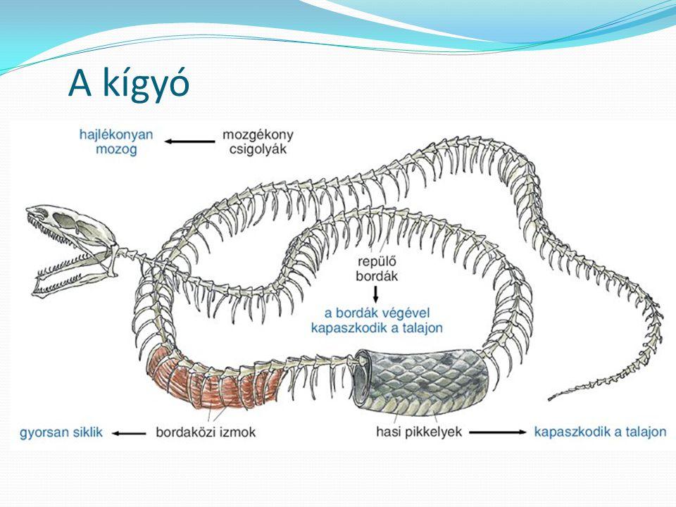 A kígyó
