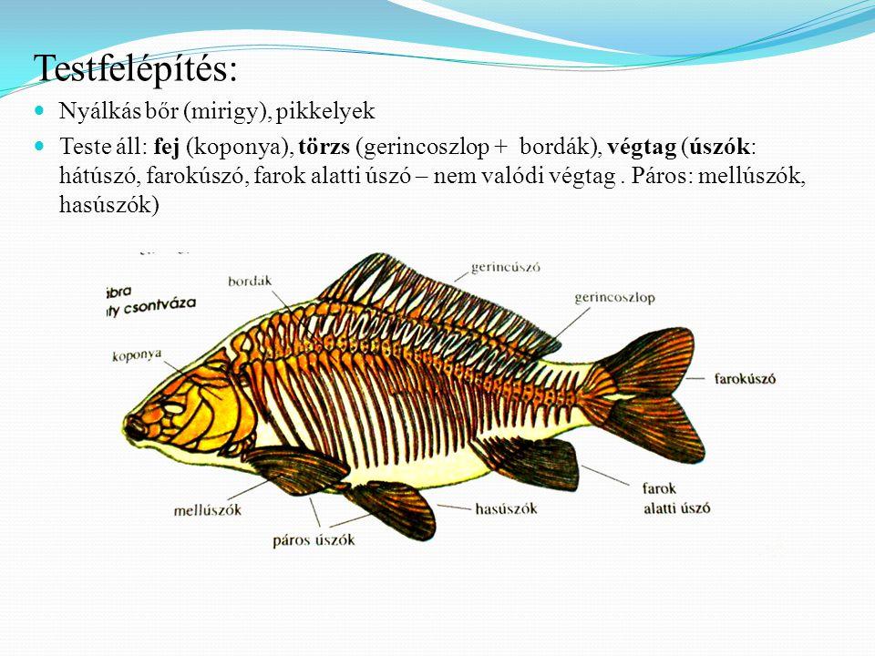 Testfelépítés:  Nyálkás bőr (mirigy), pikkelyek  Teste áll: fej (koponya), törzs (gerincoszlop + bordák), végtag (úszók: hátúszó, farokúszó, farok alatti úszó – nem valódi végtag.