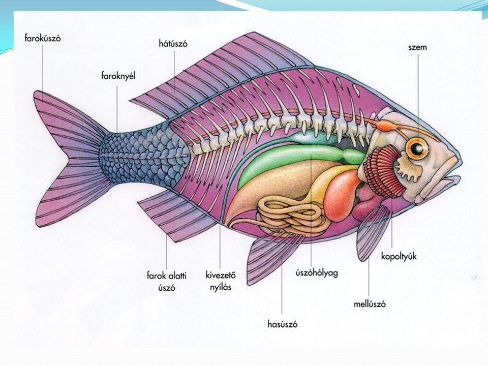  Csónak alakú test  Úszóláb – úszóhártya, láb mozgása  Lemezes csőr – a vízből merítik, szűrik táplálékukat  Fészekhagyó fiókák  Zsírzómirigy - vízhatlan tollak Vízi életmódhoz való alkalmazkodás