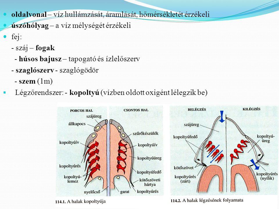  oldalvonal – víz hullámzását, áramlását, hőmérsékletét érzékeli  úszóhólyag – a víz mélységét érzékeli  fej: - száj – fogak - húsos bajusz – tapogató és ízlelőszerv - szaglószerv - szaglógödör - szem (1m)  Légzőrendszer: - kopoltyú (vízben oldott oxigént lélegzik be)