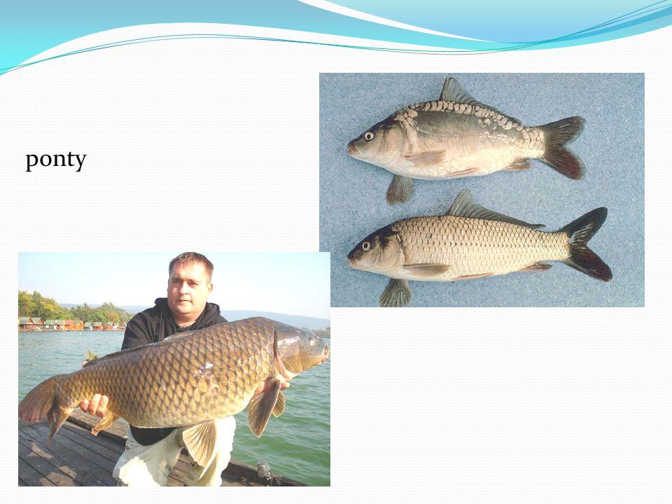 Csuka : hengeres test, megnyúlt fej. Kisebb halakra vadászik.