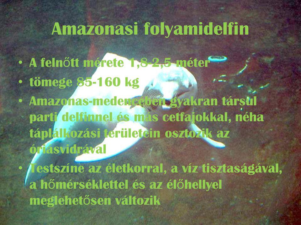 Amazonasi folyamidelfin • A feln ő tt mérete 1,8-2,5 méter • tömege 85-160 kg • Amazonas-medencében gyakran társul parti delfinnel és más cetfajokkal, néha táplálkozási területein osztozik az óriásvidrával • Testszíne az életkorral, a víz tisztaságával, a h ő mérséklettel és az él ő hellyel meglehet ő sen változik