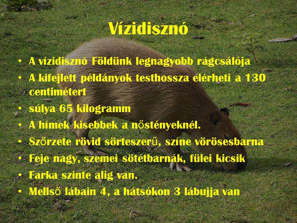 Vízidisznó • A vízidisznó Földünk legnagyobb rágcsálója • A kifejlett példányok testhossza elérheti a 130 centimétert • súlya 65 kilogramm • A hímek kisebbek a n ő stényeknél.