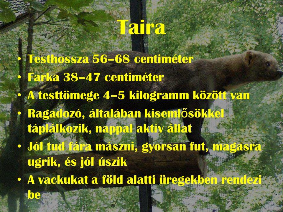 Taira • Testhossza 56–68 centiméter • Farka 38–47 centiméter • A testtömege 4–5 kilogramm között van • Ragadozó, általában kiseml ő sökkel táplálkozik, nappal aktív állat • Jól tud fára mászni, gyorsan fut, magasra ugrik, és jól úszik • A vackukat a föld alatti üregekben rendezi be