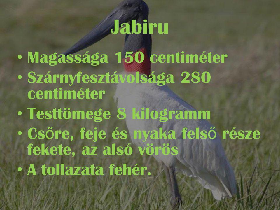 Jabiru • Magassága 150 centiméter • Szárnyfesztávolsága 280 centiméter • Testtömege 8 kilogramm • Cs ő re, feje és nyaka fels ő része fekete, az alsó vörös • A tollazata fehér.