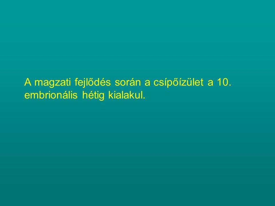 A magzati fejlődés során a csípőízület a 10. embrionális hétig kialakul.