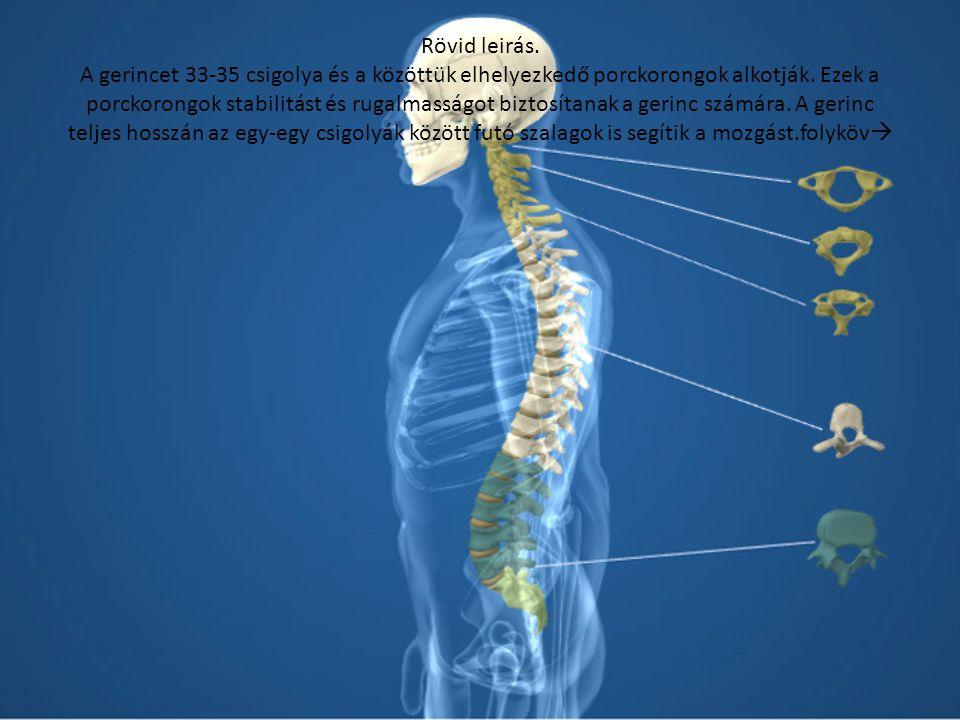 Rövid leirás.A gerincet 33-35 csigolya és a közöttük elhelyezkedő porckorongok alkotják.