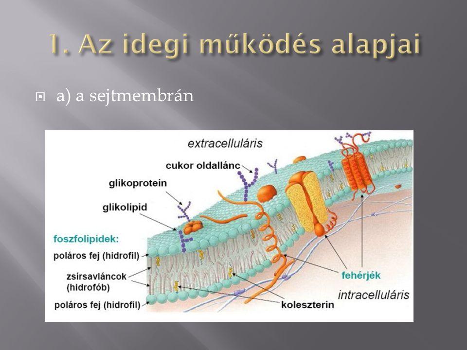  a) a sejtmembrán