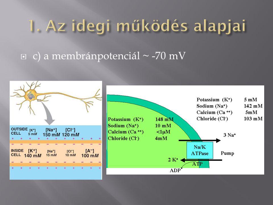  c) a membránpotenciál ~ -70 mV