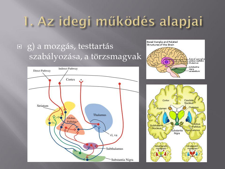  g) a mozgás, testtartás szabályozása, a törzsmagvak