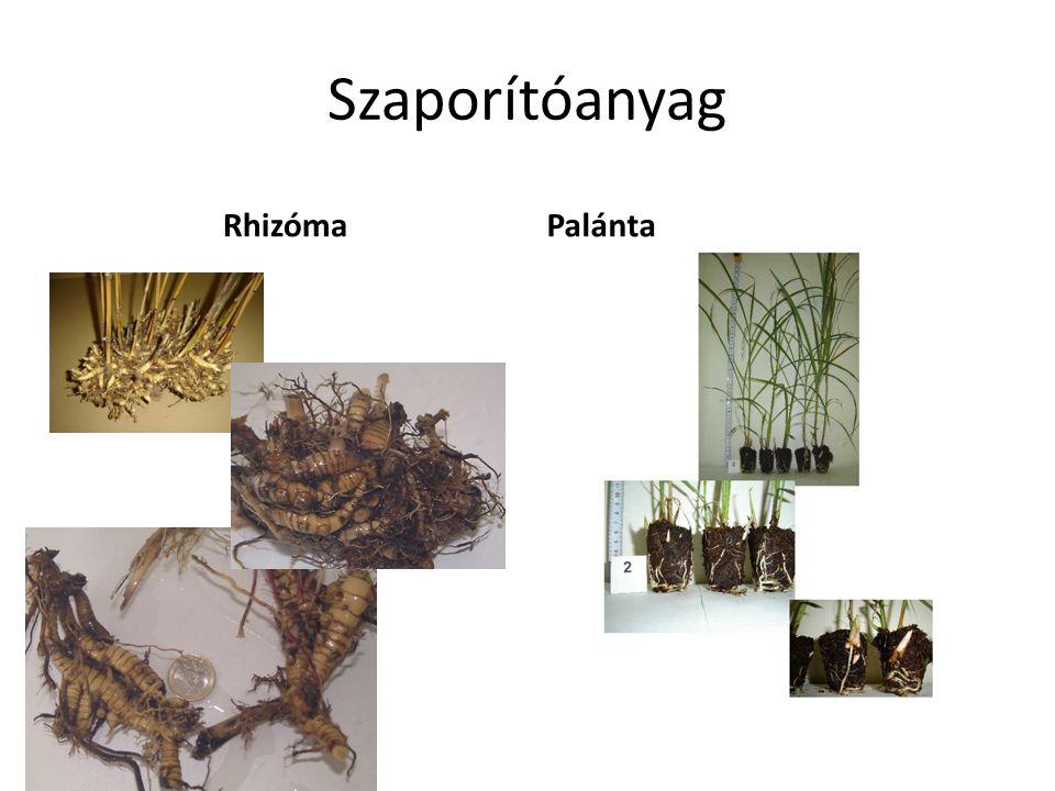 Szaporítóanyag RhizómaPalánta