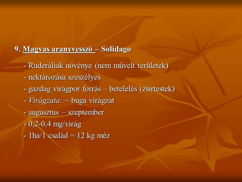 9. Magvas aranyvessző – Solidago - Ruderáliák növénye (nem művelt területek) - nektározása szeszélyes - gazdag virágpor forrás – betelelés (zsírtestek