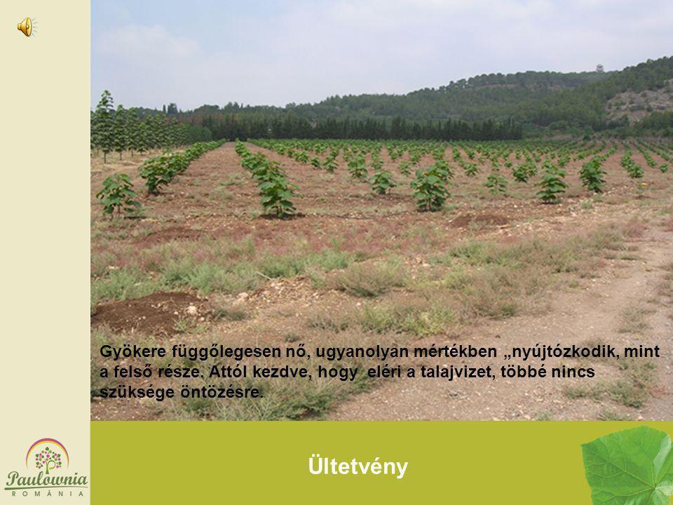 """Ültetvény Gyökere függőlegesen nő, ugyanolyan mértékben """"nyújtózkodik, mint a felső része. Attól kezdve, hogy eléri a talajvizet, többé nincs szüksége"""