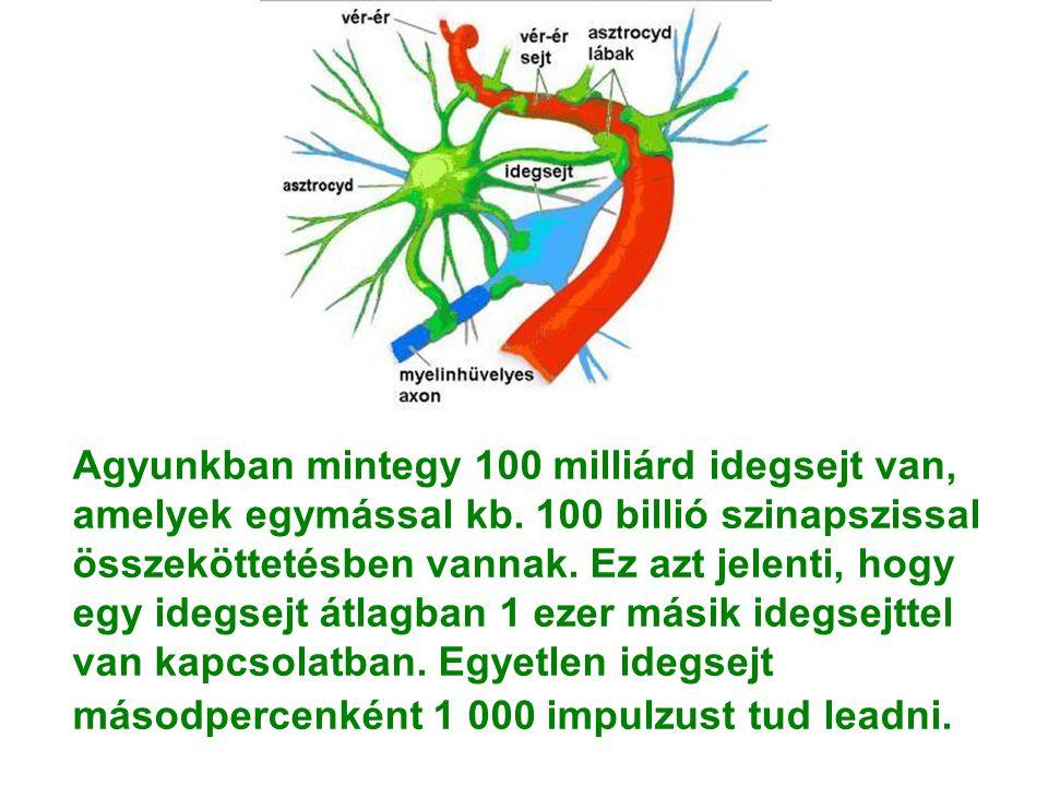 Agyunkban mintegy 100 milliárd idegsejt van, amelyek egymással kb. 100 billió szinapszissal összeköttetésben vannak. Ez azt jelenti, hogy egy idegsejt