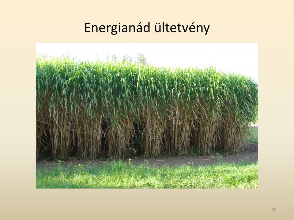 Energianád ültetvény 30