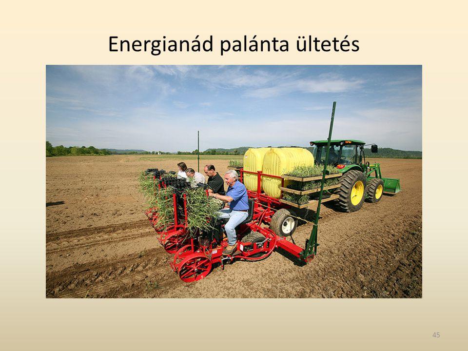 Energianád palánta ültetés 45