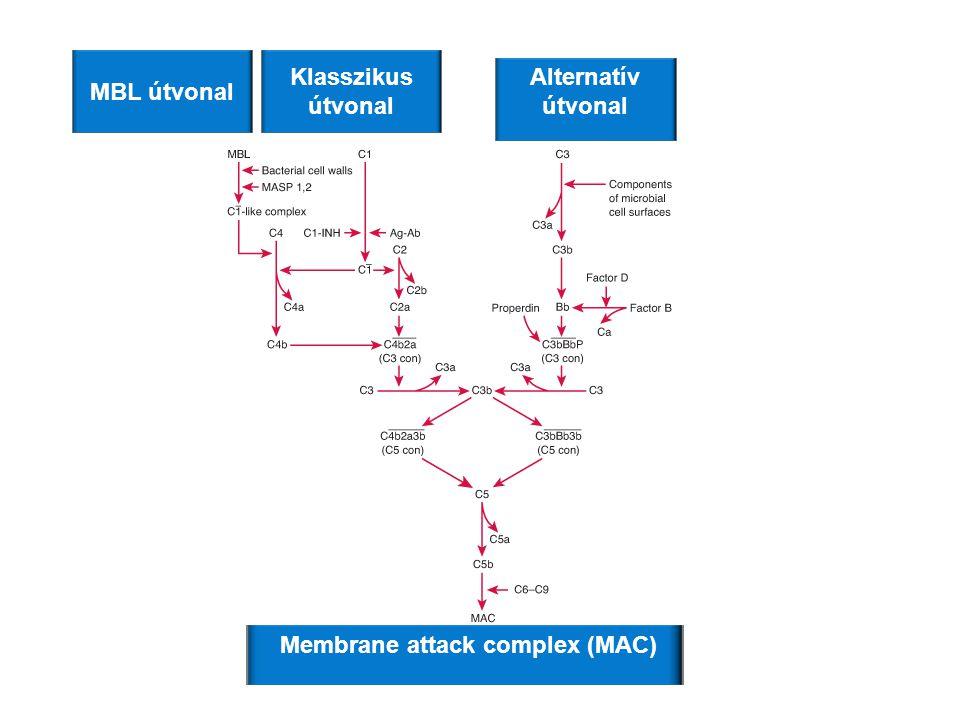 Klasszikus útvonal MBL útvonal Alternatív útvonal Membrane attack complex (MAC)