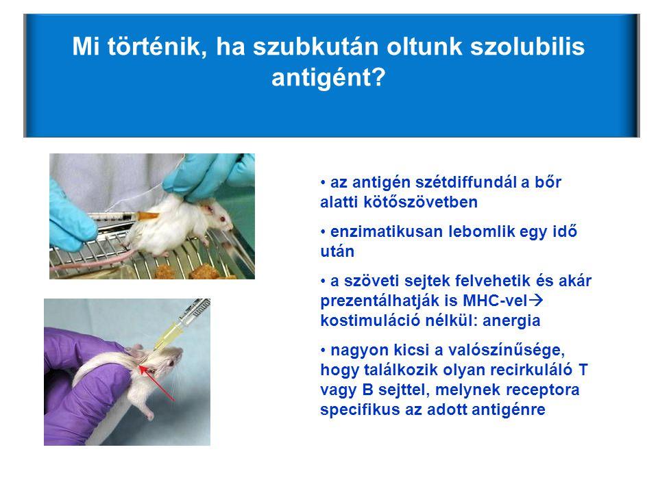 Mi történik, ha szubkután oltunk szolubilis antigént? • az antigén szétdiffundál a bőr alatti kötőszövetben • enzimatikusan lebomlik egy idő után • a