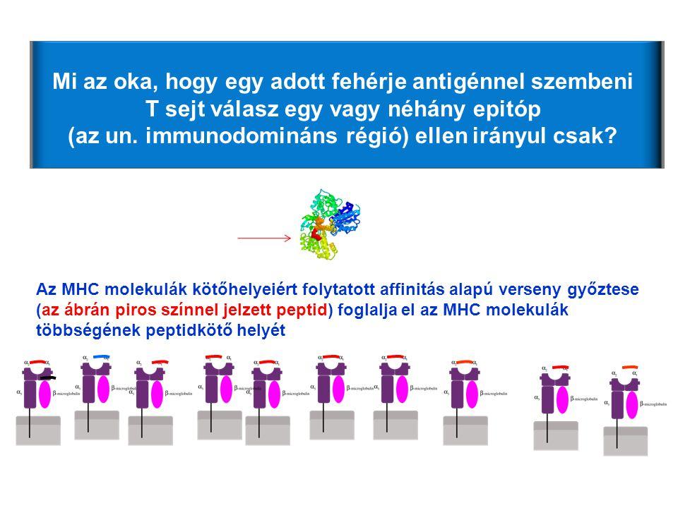 Mi az oka, hogy egy adott fehérje antigénnel szembeni T sejt válasz egy vagy néhány epitóp (az un. immunodomináns régió) ellen irányul csak? Az MHC mo