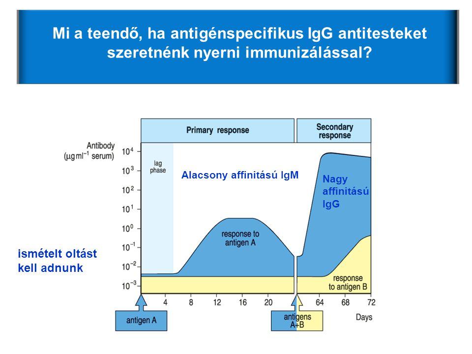 Alacsony affinitású IgM Nagy affinitású IgG Mi a teendő, ha antigénspecifikus IgG antitesteket szeretnénk nyerni immunizálással? ismételt oltást kell