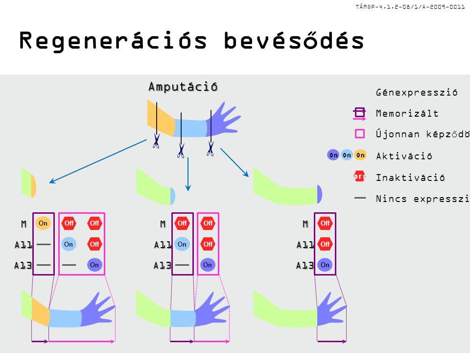 TÁMOP-4.1.2-08/1/A-2009-0011 Regenerációs bevésődés Amputáció M A11 A13 M A11 A13 M A11 A13 Inaktiváció Off Aktiváció On Nincs expresszió Memorizált Újonnan képződött Génexpresszió On Off On Off On Off On Off On Off On