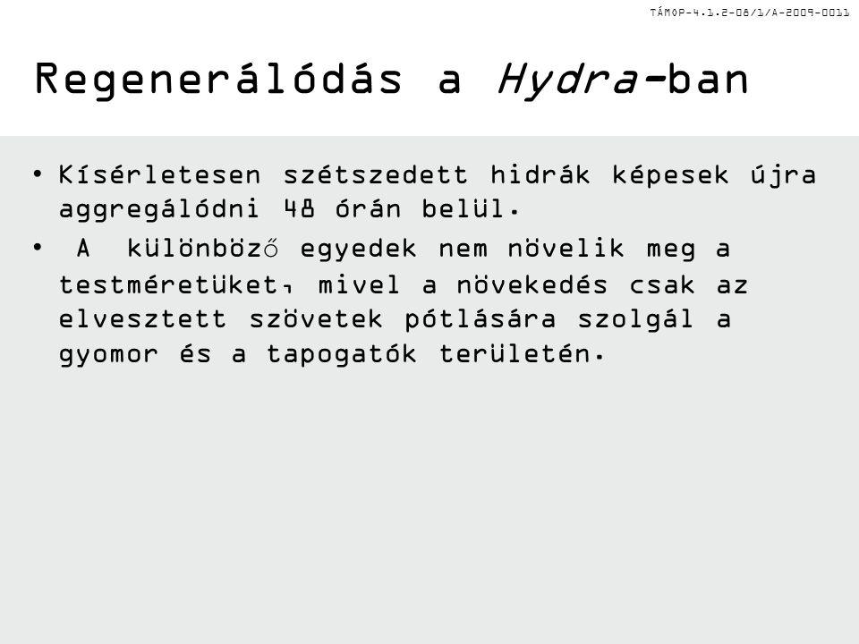 TÁMOP-4.1.2-08/1/A-2009-0011 Regenerálódás a Hydra-ban •Kísérletesen szétszedett hidrák képesek újra aggregálódni 48 órán belül.