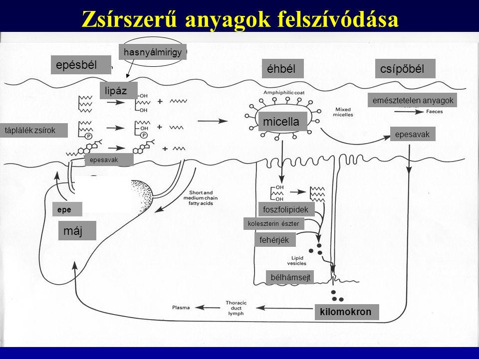 Lipoproteinek LPL = lipoprotein lipáz VLDL = nagyon kicsi sűrűségű lipoprotein IDL = közepes sűrűségű lipoprotein LDL = kis sűrűségű lipoprotein HDL = nagy sűrűségű liporotein vékonybél perifériás szövtek máj perifériás szövetek kapilláris erei
