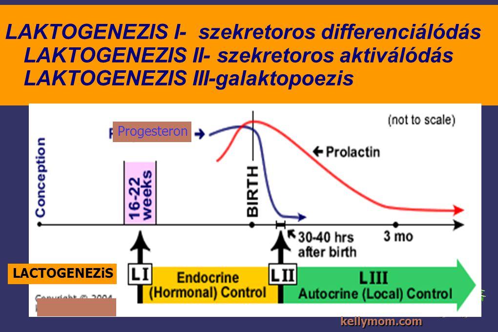 LAKTOGENEZIS I- szekretoros differenciálódás LAKTOGENEZIS II- szekretoros aktiválódás LAKTOGENEZIS III-galaktopoezis LACTOGENEZiS Progesteron kellymom