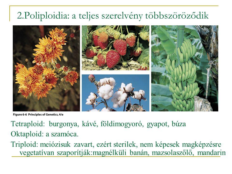 2.Poliploidia: a teljes szerelvény többszöröződik Tetraploid: burgonya, kávé, földimogyoró, gyapot, búza Oktaploid: a szamóca. Triploid: meiózisuk zav