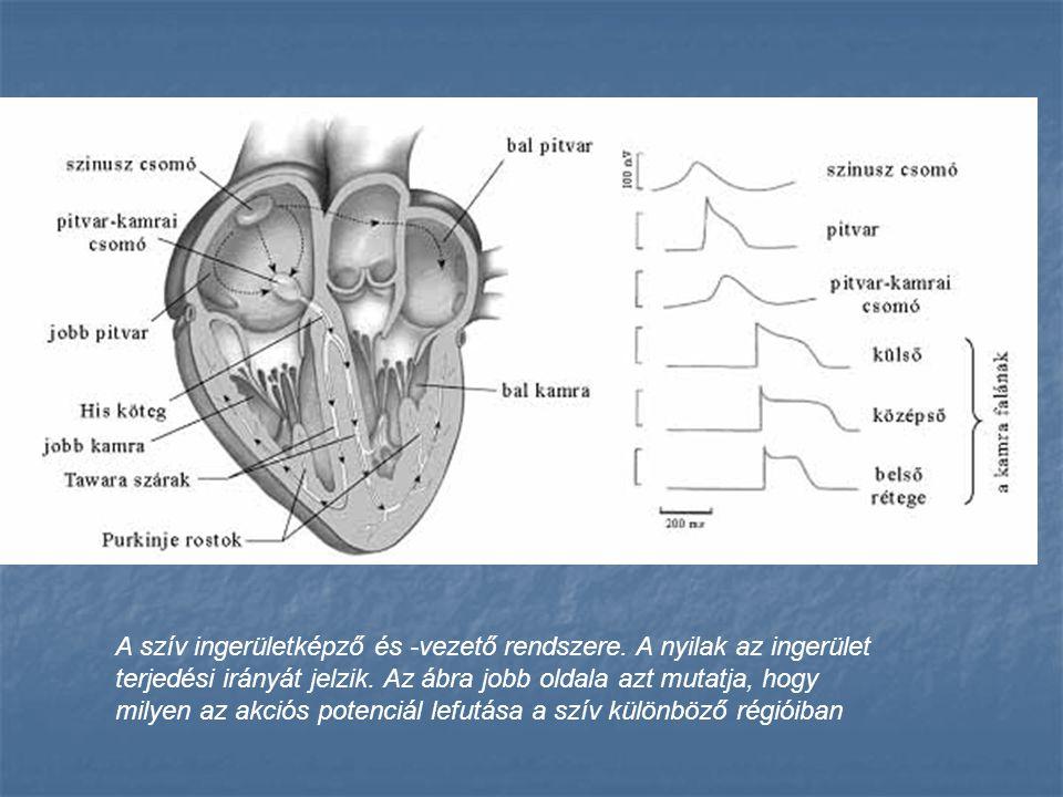 A szív ingerületképző és -vezető rendszere. A nyilak az ingerület terjedési irányát jelzik. Az ábra jobb oldala azt mutatja, hogy milyen az akciós pot