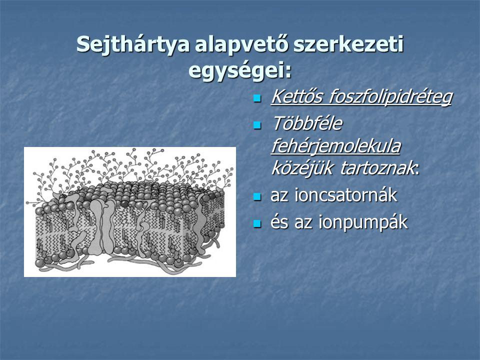 Sejthártya alapvető szerkezeti egységei:  Kettős foszfolipidréteg  Többféle fehérjemolekula közéjük tartoznak:  az ioncsatornák  és az ionpumpák