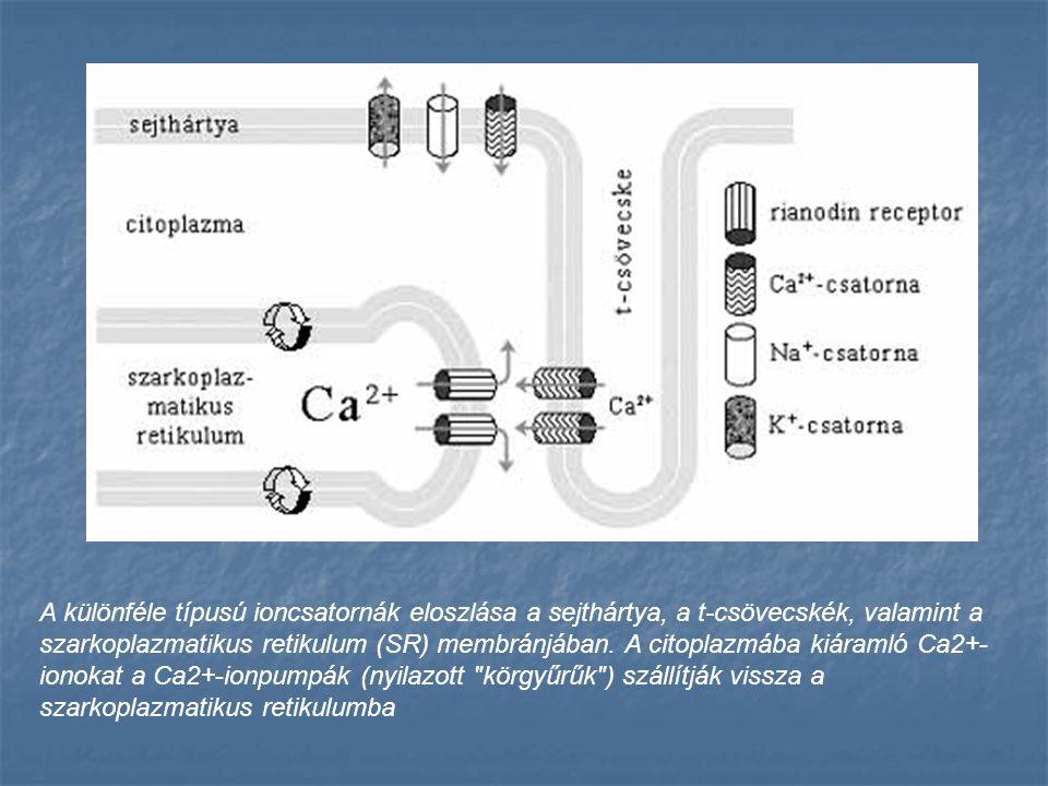 A különféle típusú ioncsatornák eloszlása a sejthártya, a t-csövecskék, valamint a szarkoplazmatikus retikulum (SR) membránjában. A citoplazmába kiára