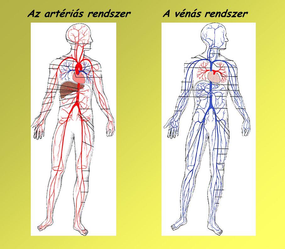 Az artériás rendszerA vénás rendszer