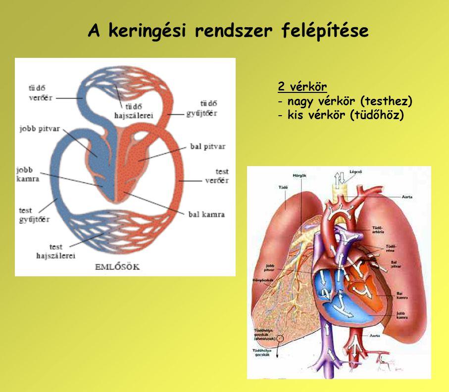 A keringési rendszer felépítése 2 vérkör - nagy vérkör (testhez) - kis vérkör (tüdőhöz)