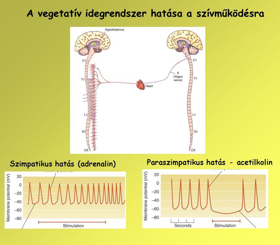 A vegetatív idegrendszer hatása a szívműködésra Szimpatikus hatás (adrenalin) Paraszimpatikus hatás - acetilkolin
