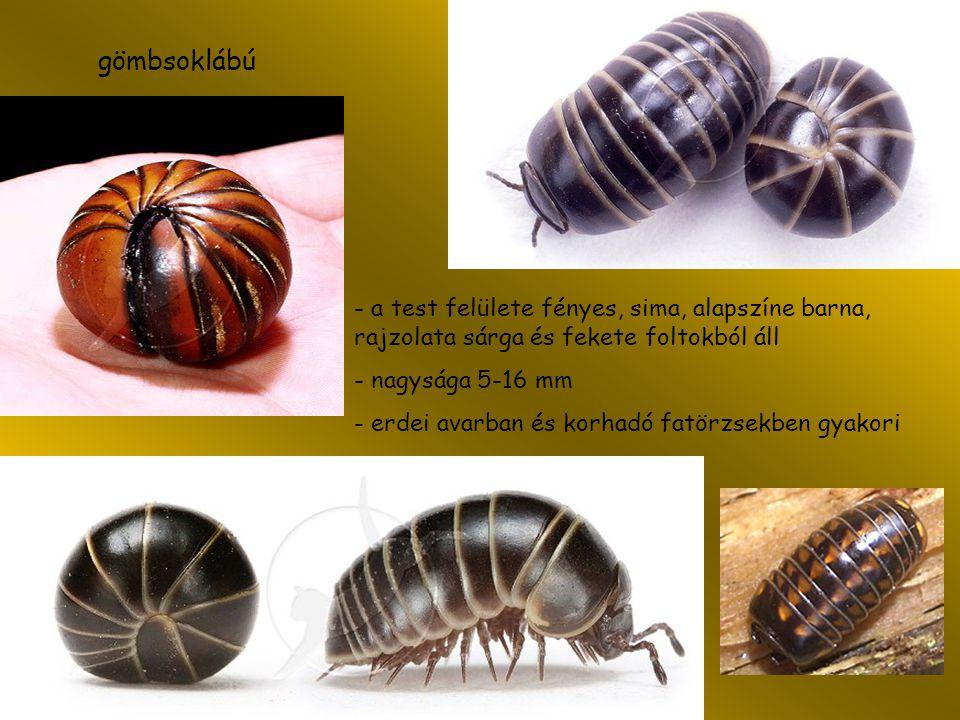 gömbsoklábú - a test felülete fényes, sima, alapszíne barna, rajzolata sárga és fekete foltokból áll - nagysága 5-16 mm - erdei avarban és korhadó fat