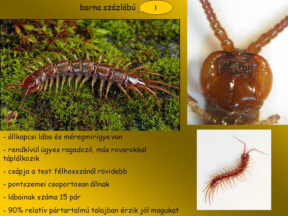 barna százlábú - állkapcsi lába és méregmirigye van - rendkívül ügyes ragadozó, más rovarokkal táplálkozik - csápja a test félhosszánál rövidebb - pon