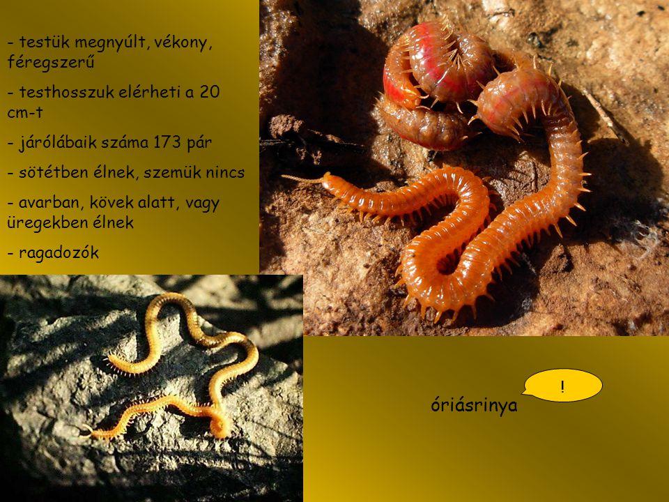 óriásrinya - testük megnyúlt, vékony, féregszerű - testhosszuk elérheti a 20 cm-t - járólábaik száma 173 pár - sötétben élnek, szemük nincs - avarban,