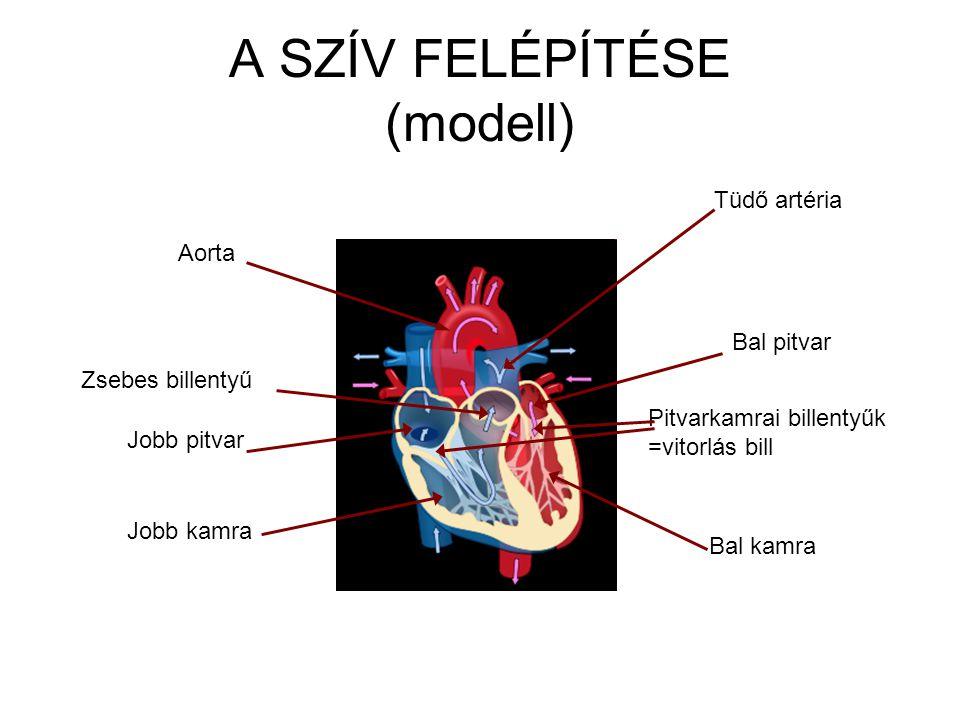 A SZÍV FELÉPÍTÉSE (modell) Bal pitvar Bal kamra Tüdő artéria Aorta Jobb pitvar Jobb kamra Pitvarkamrai billentyűk =vitorlás bill Zsebes billentyű