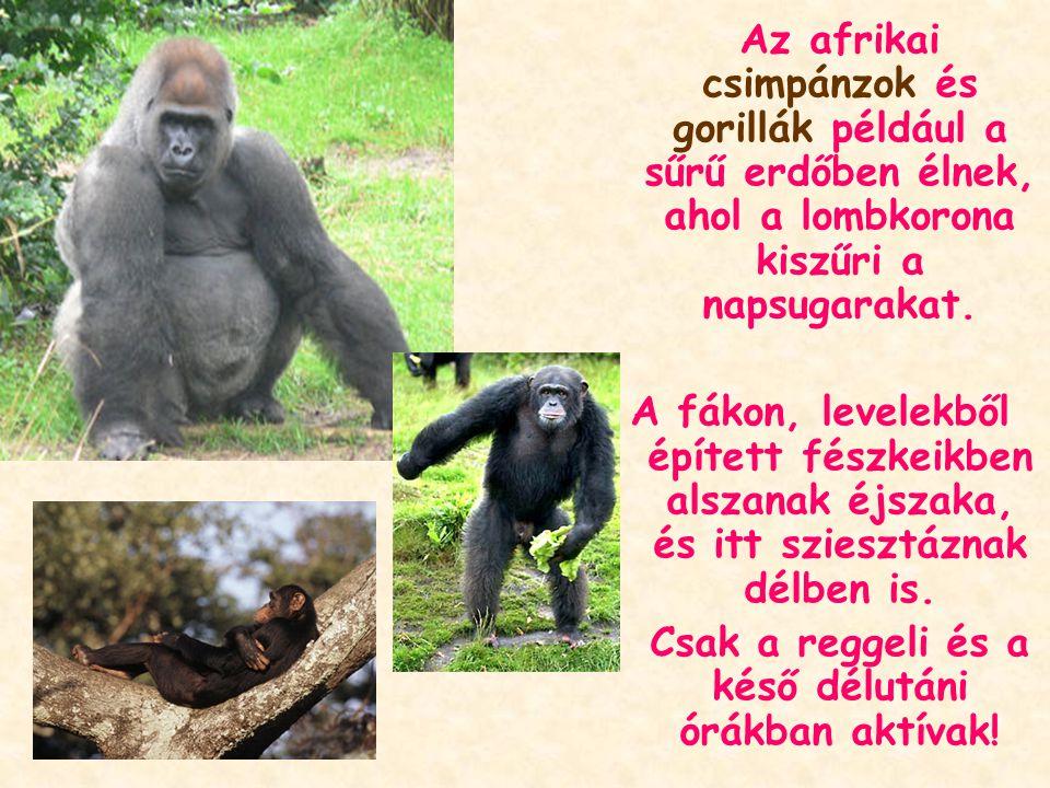 Az afrikai csimpánzok és gorillák például a sűrű erdőben élnek, ahol a lombkorona kiszűri a napsugarakat.