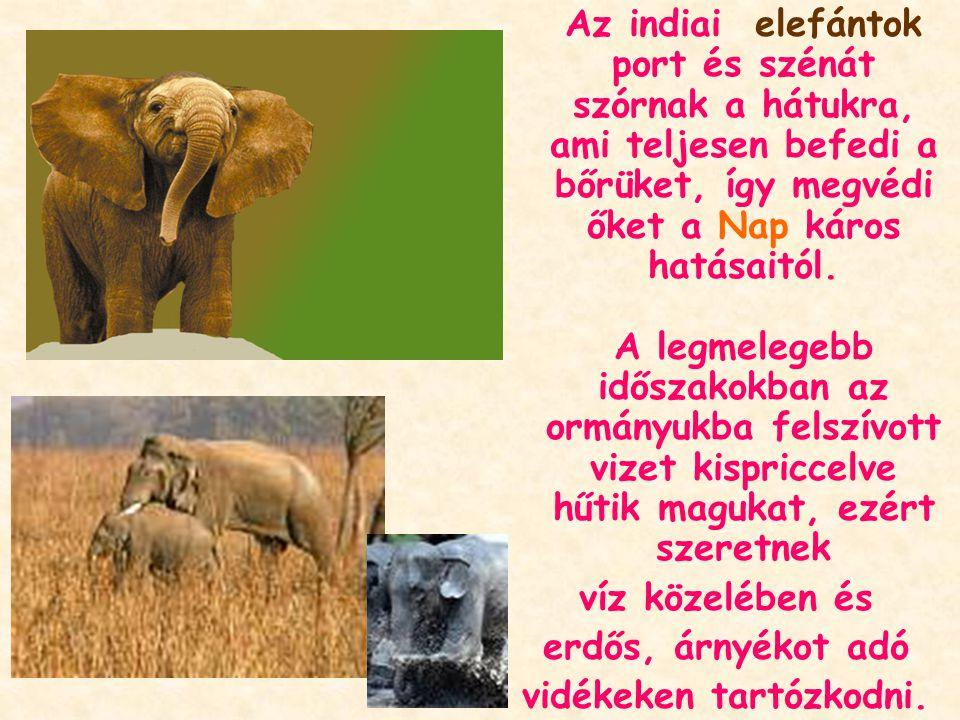 Az indiai elefántok port és szénát szórnak a hátukra, ami teljesen befedi a bőrüket, így megvédi őket a Nap káros hatásaitól.