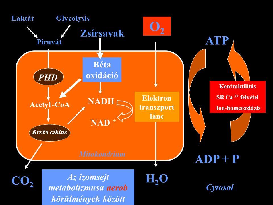 Mitokondrium PHD Krebs ciklus Acetyl -CoA Piruvát LaktátGlycolysis CO 2 Béta oxidáció NADH NAD + Zsírsavak Elektron transzport lánc O2O2 H2OH2O Cytoso