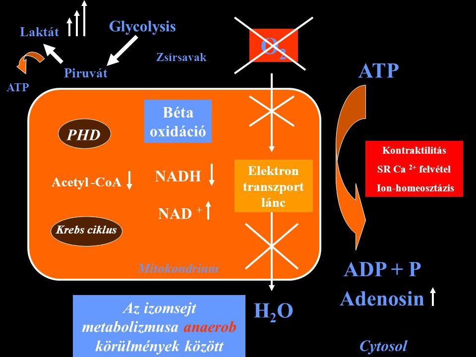 Mitokondrium PHD Krebs ciklus Acetyl -CoA Piruvát Laktát Glycolysis Béta oxidáció NADH NAD + Zsírsavak Elektron transzport lánc O2O2 H2OH2O Cytosol AT