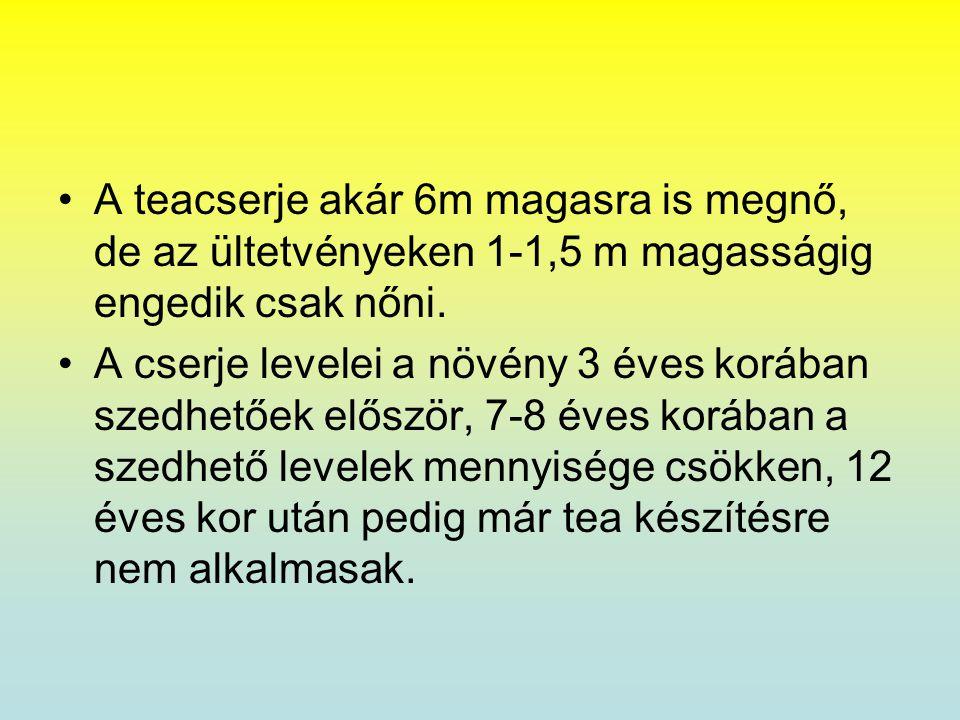 •A teacserje akár 6m magasra is megnő, de az ültetvényeken 1-1,5 m magasságig engedik csak nőni. •A cserje levelei a növény 3 éves korában szedhetőek