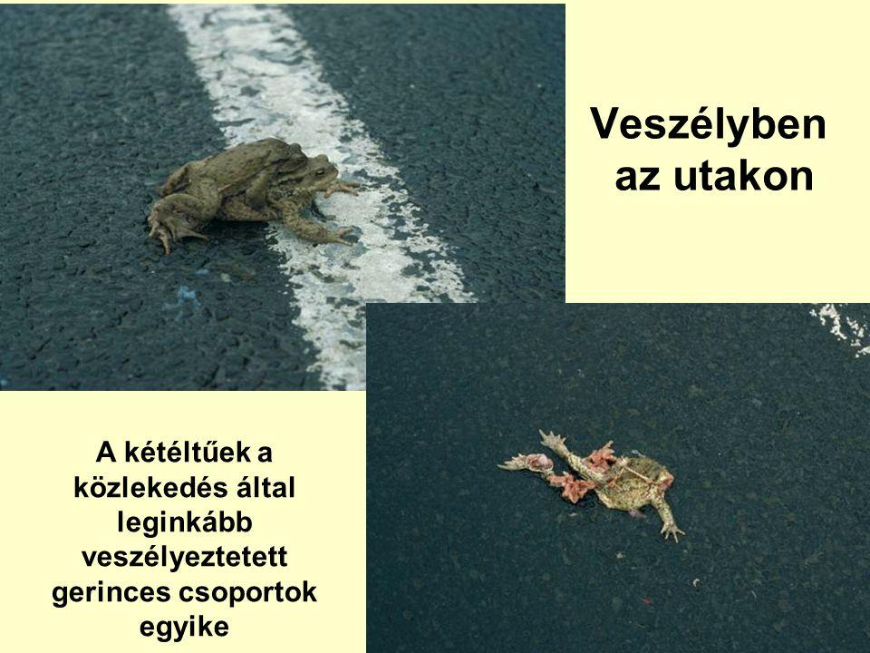 Veszélyben az utakon A kétéltűek a közlekedés által leginkább veszélyeztetett gerinces csoportok egyike
