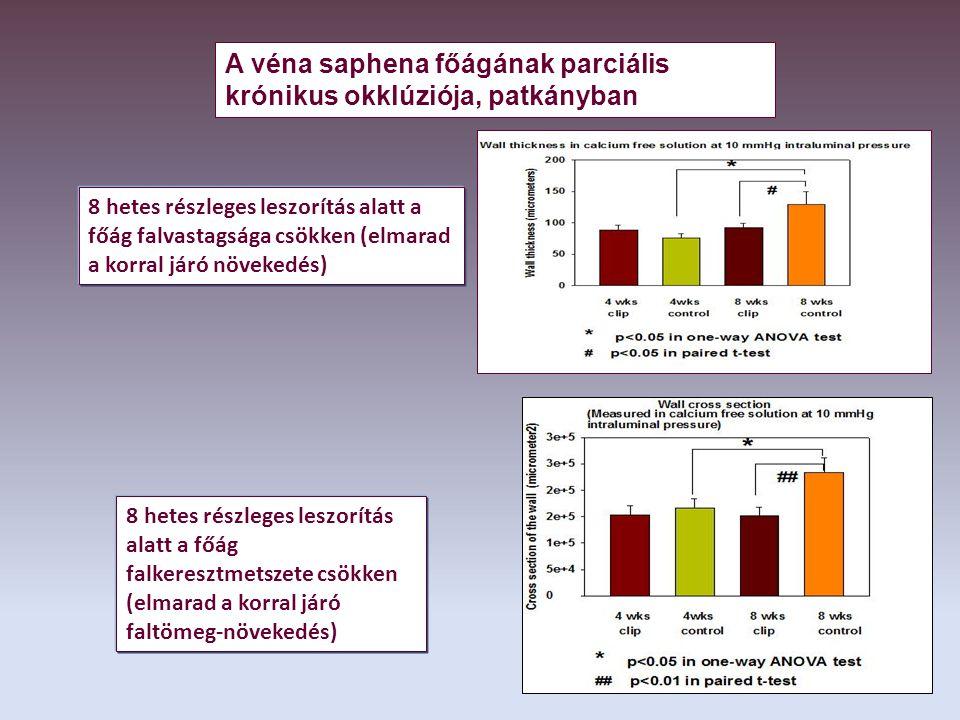 8 hetes részleges leszorítás alatt a főág falvastagsága csökken (elmarad a korral járó növekedés) 8 hetes részleges leszorítás alatt a főág falkeresztmetszete csökken (elmarad a korral járó faltömeg-növekedés) A véna saphena főágának parciális krónikus okklúziója, patkányban